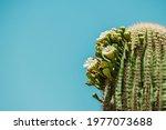 Saguaro Cactus  Carnegiea...