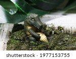 A Crocodile In A Swamp....