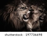 Close Up Shot Of Roaring Lion...