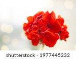 Flower  Red Geranium  With...