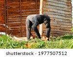 A Black Chimpanzee Walking...