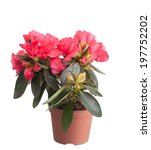 Blossoming Red Azalea In A...