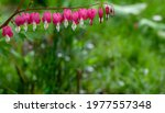 Flowering Of The Plant Dicentra ...