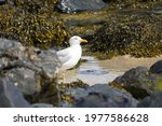 White Seagull Walks Between...