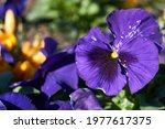 Pansy violet   purple flowers...