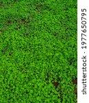 Green shamrock, three leaves, three leaf clover in the garden at summer