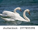 Swan On Lake Water In Sunny Day ...