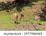 Young Specimens Of Fallow Deer...