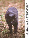 Small photo of black cat with a warlike appearance