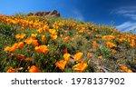 California Golden Orange...