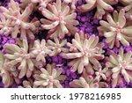Closeup Purple Fresh Succulent...