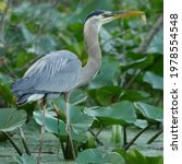 A Great Blue Heron Fishes Among ...