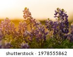 Blue Bonnets  Lupinus Texensis  ...