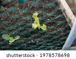 Young Lettuce Seedling Covered...