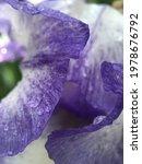 Delicate Texture Of Iris Flower ...