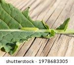 Larva Of Cabbage White...