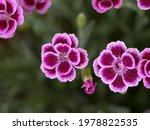 Wild Carnation Pink And Purple...
