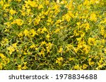 yellow flowers. large bush with ... | Shutterstock . vector #1978834688