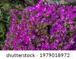 Nature Background Of Delosperma ...