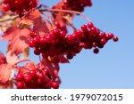 Red Mature Berries Of Viburnum...
