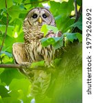 Barred Owl Hiding Under The...