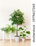 Houseplants Ficus Benjamina ...