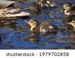 Paddling Of Little Ducks...