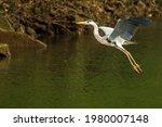 A Single Grey Heron Flying In...