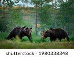 Two Bears Met In The Forest....