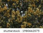Quercus Ilex. Detail Of Holm...