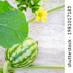 A Newly Pollinated Watermelon...