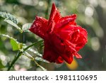Red Rose Covered With Dew In...