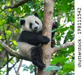 panda bear in tree | Shutterstock . vector #198111542