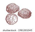 outlined black truffle tubers... | Shutterstock .eps vector #1981301045