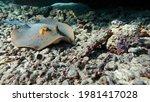 Small photo of Stingrays - Batoidea Stingray Family. Spotted Stingrays.Taeniura lymma.