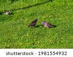 A Starling  Sturnus Vulgaris ...