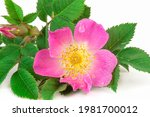 Wild Rose With Simple  Non...
