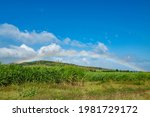 Sugar Cane Field With Blue Sky...