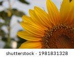 Small photo of Sunflower field landscape closeup vehement yellow color