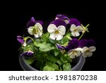 Miniature Light Purple And...
