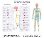 human nervous system.... | Shutterstock . vector #1981874612