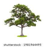 Big Tree Isolate On White...