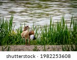Egyptian Goose Standing On Land ...