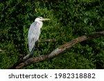Grey Heron Waiting Patiently...