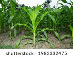 A Beautyful Fresh Corn Plant...