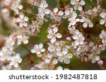 White Flowers Of Photinia Red...