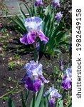 Two Purple Bearded Iris Flowers