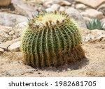 A Large Golden Barrel Cactus.
