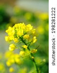 An Image Of Mustard Flower