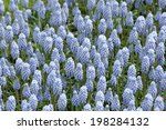 an image of muscari | Shutterstock . vector #198284132